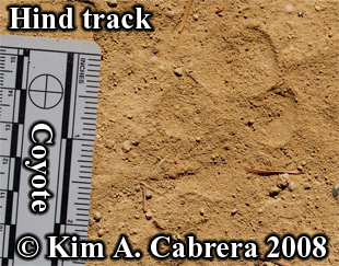 Coyote hind track. Photo copyright Kim A. Cabrera 2008.
