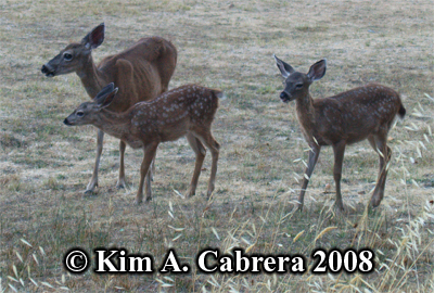 Blacktailed deer family. Photo copyright by Kim A. Cabrera 2008.