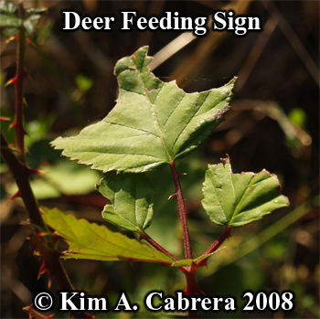 Blacktailed deer feeding sign on blackberry leaf. Photo copyright Kim A. Cabrera 2008.