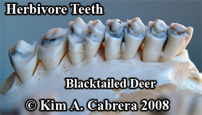 Herbivore teeth. Deer teeth from a skull. Photo copyright Kim A. Cabrera 2008.