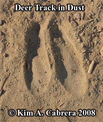 Fine deer track in dust. Photo copyright by Kim A. Cabrera 2008.