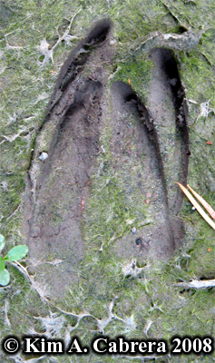 Another pair of deer tracks showing overlap of front and hind feet. Photo copyright by Kim A. Cabrera 2008.