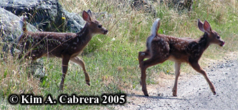 Twin fawns crossing a road. Photo copyright by Kim A. Cabrera 2005.