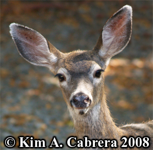 Close-up of a doe. Photo copyright Kim A. Cabrera 2008.