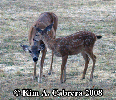 Blacktailed deer fawn licking doe. Photo copyright by Kim A. Cabrera 2008.