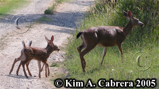 Doe with twin fawns. Photo copyright by Kim A. Cabrera 2005.
