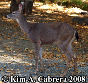 Doe under an acorn-producing oak tree. Photo copyright Kim A. Cabrera 2008.