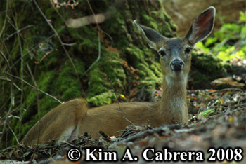 Doe resting in the woods in a shady spot. Photo copyright Kim A. Cabrera 2008.