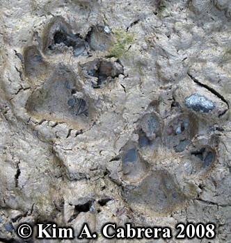 Domestic dog tracks. Photo copyright Kim A. Cabrera 2008.