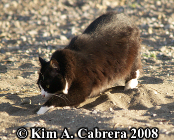 Boots, the domestic cat, burying his scat. Copyright Kim A. Cabrera 2008.