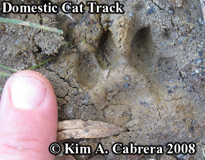 Domestic cat track. Photo copyright by Kim A. Cabrera 2008.