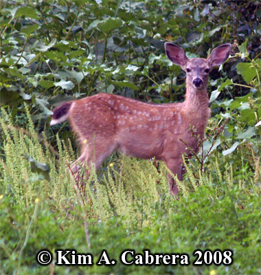 Fawn in brush along the river's edge. Photo copyright Kim A. Cabrera 2008.
