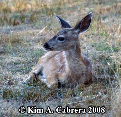 Fawn resting at the edge of a meadow. Photo copyright Kim A. Cabrera 2008.