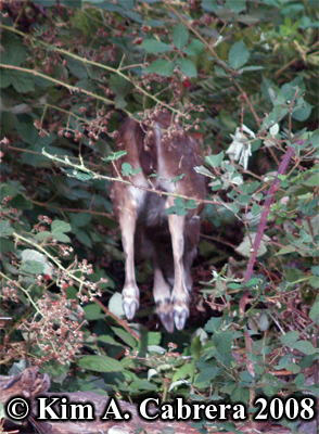 The back end of a fawn as it bounds off into the brush. Photo copyright Kim A. Cabrera 2008.