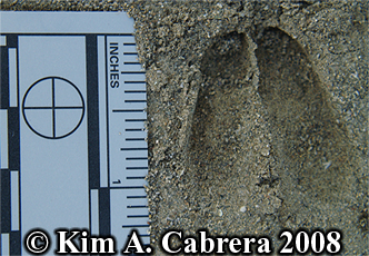 blacktailed deer fawn track. Photo copyright by Kim A. Cabrera 2008.