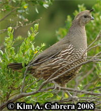 Female quail                   acting as lookout. The young were on the ground,                   feeding. Photo copyright by Kim A. Cabrera 2008.