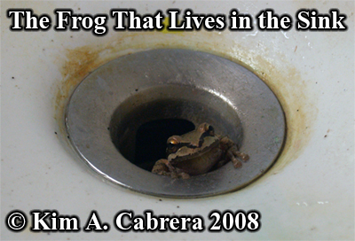 The frog that lives in the sink. Photo copyright by Kim A. Cabrera 2008.
