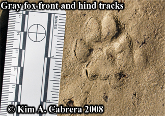 Gray fox tracks in mud. Photo copyright by Kim A. Cabrera 2008.