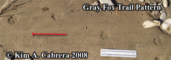 Gray fox gait. Photo copyright by Kim A. Cabrera 2008.