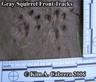 Pair of gray squirrel tracks. Photo copyright by Kim A. Cabrera 2006.