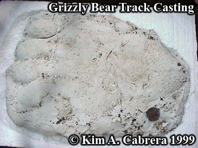 Grizzly bear track cast. Photo copyright by Kim A. Cabrera 1999.
