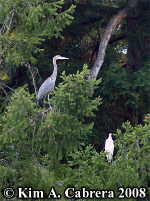 Great                     blue heron and great egret in tree. Photo copyright                     by Kim A. Cabrera 2008.