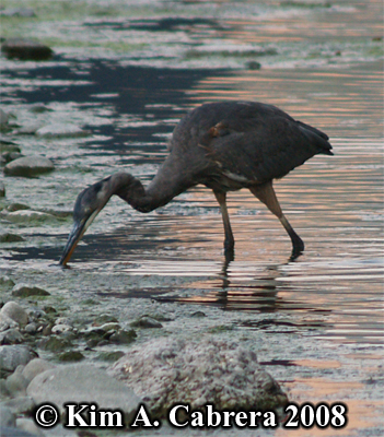 Great blue heron stalking prey. Photo copyright by Kim A. Cabrera 2008.