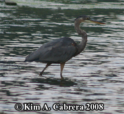 Great blue heron wading in the river. Photo copyright by Kim A. Cabrera 2008.