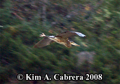 Great blue                     heron in flight. Photo copyright by Kim A. Cabrera                     2008.