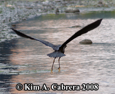 Great                     blue heron taking off. Photo copyright by Kim A.                     Cabrera 2008.