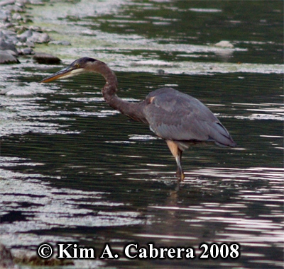 Great blue heron stalking. Photo copyright by Kim A. Cabrera 2008.