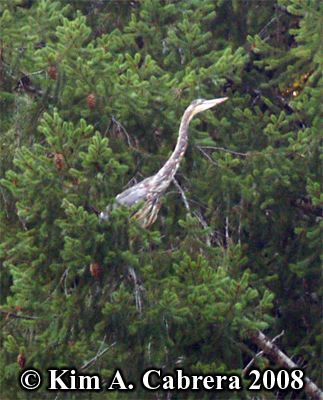 Great blue                     heron in a Douglas fir tree. Photo copyright by Kim                     A. Cabrera 2008.