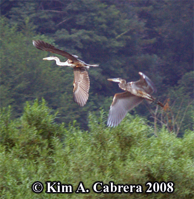 Great                     blue herons in flight. Photo copyright by Kim A.                     Cabrera 2008.