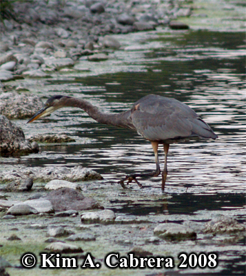 Great                     blue heron slowly stalking prey. Photo copyright by                     Kim A. Cabrera 2008.