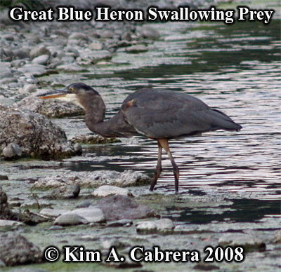 Great blue heron swallowing its prey. Photo                     copyright by Kim A. Cabrera 2008.