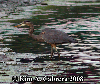 Great blue heron wading. Photo copyright by Kim A. Cabrera 2008.