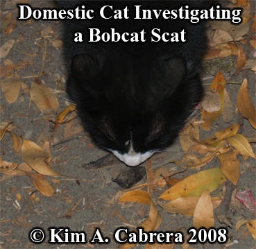Domestic cat curious about a bobcat scat. Photo copyright by Kim A. Cabrera 2008.