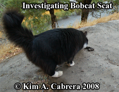 Domestic cat investigating a bobcat scat. Photo copyright by Kim A. Cabrera 2008.