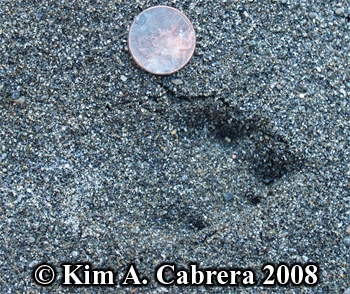 Blacktailed jackrabbit track in sand. Photo copyright Kim A. Cabrera 2008.