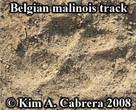 Track of a Belgian malinois dog. Photo copyright Kim A. Cabrera 2008.