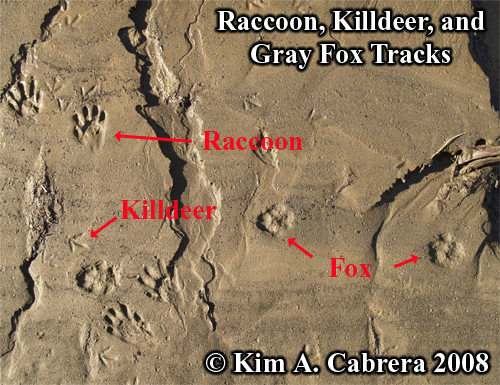 Raccoon, killdeer, and gray fox tracks. Photo copyright by Kim A. Cabrera 2008.