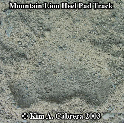 Heel pad of a mountain lion. Photo copyright by Kim A. Cabrera 2003.