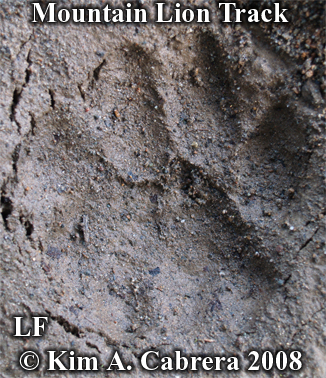 Mountain lion or cougar track. Left front foot. Photo copyright Kim A. Cabrera 2008.