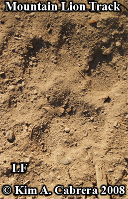 Very clear mountain lion paw print. Photo copyright by Kim A. Cabrera 2008.