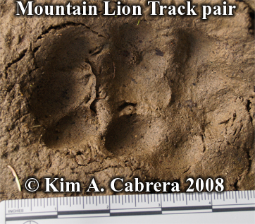Mountain lion or cougar tracks. Hind print on top of front print. Photo copyright Kim A. Cabrera 2008.