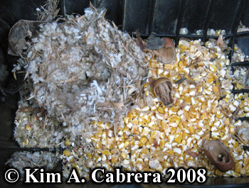 Mouse nest and food storage in the air intake of my truck. Photo copyright Kim A. Cabrera 2008.