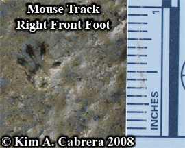 Right front mouse track. Photo copyright Kim A. Cabrera 2008.