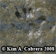 Right hind  mouse track. Photo copyright Kim A. Cabrera 2008.