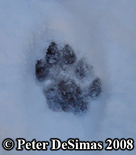Cougar pawprint photo. Copyright Peter DeSimas 2008.