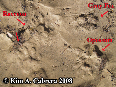 Tracks of multiple animals. Photo copyright by Kim A. Cabrera 2008.